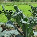 Kale - King of Greens